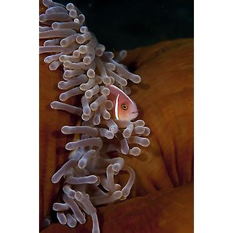 A pink anemonefish swims in a magnificent sea anemone Poster Print by VWPicsStocktrek Images