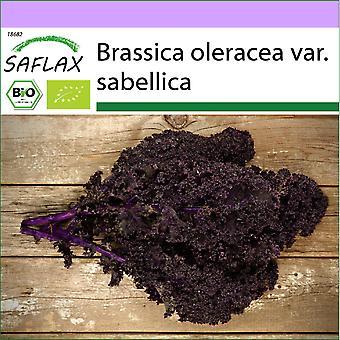 Saflax - 50 Samen - Bio - Kale - Redbor - BIO - Chou frisé - Rouge - BIO - Cavolo riccio - Krauser rosso - Ecol'gico - Col verde - Rizado rojo - BIO - Grünkohl - Roter Krauser