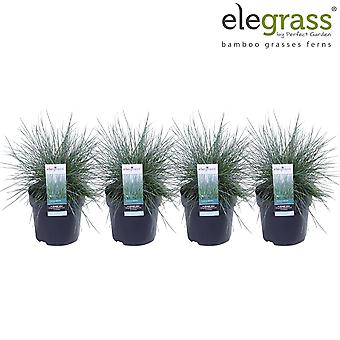 Grass from Botanicly – 4 × Blue fescue – Height: 30 cm – Festuca glauca Cool as Ice