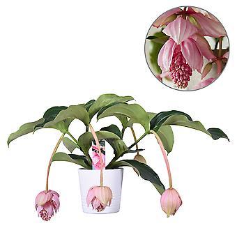 MoreLIPS® - Medinilla magnifica  - inclusief witte keramieken decopot - hoogte 60-70 cm - potdiameter: 19 cm
