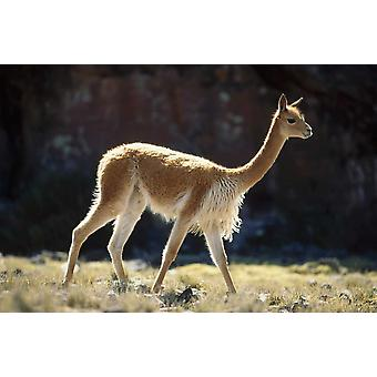 Vicuna male on lookout for rivals Pampa Galeras Nature Reserve Peru Poster Print by Tui De Roy
