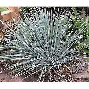 ハマニンニク magellanicus - 青い群生小麦草植物 9 cm ポット