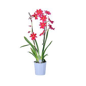 MoreLIPS® - Orchid- Cambria 'Nelly Isler' - 2 haaraa punaisella keramiikalla - korkeus 50-60 cm - potin halkaisija: 14 cm