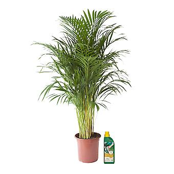 Golden cane palm ↕ 125 cm available with planter | Areca dypsis lutescens