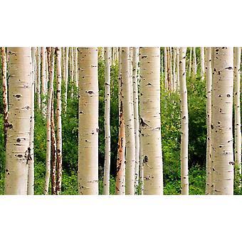 Fondo de pantalla Mural Aspen Woods en verano