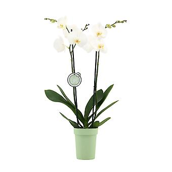 """MoreLIPS® - Phalaenopsis Orchid """"white"""" in Plastic Decopot - Korkeus 55-65 cm - Potmate: 12 cm - Quality Butterfly Orchid"""