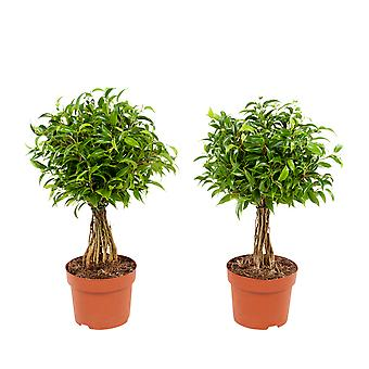 Indoor trees from Botanicly – 2 × Weeping fig – Height: 30 cm – Ficus benjamina Babilatos