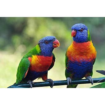 Wallpaper Mural Rainbow Lorikeets Birds