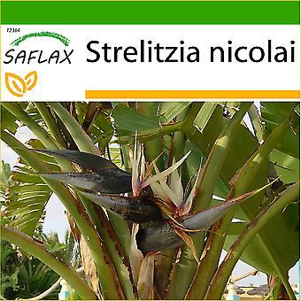 Saflax - 5 frø - med jord - hvit fugl av paradis - L'Oiseau de paradis (nicolai) - Uccello del paradiso - Ave del Paraíso gigante - Paradiesvogelblume (nicolai)