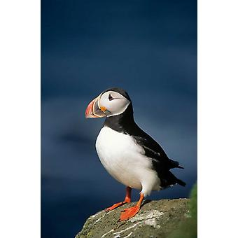 Atlantic Puffin adult on rock Europe Poster Print by Eric Wanders