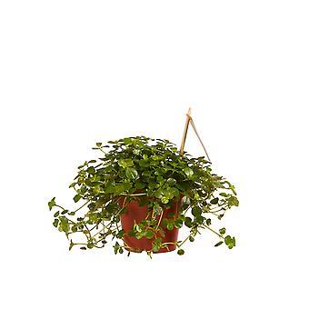 Kamerplant van Botanicly – Kanonplantje – Hoogte: 15 cm – Pilea depressa Sao Paulo