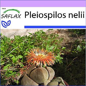 Saflax - 40 frø - Living granitt - Cleft stein - Pleiospilos tricolore - Piedras vivas - Lebender Granit