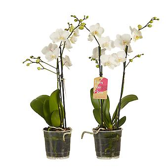Choice of Green - 1 Phalaenopsis Multifl- a White - Butterfly Orchid