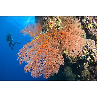A diver looks on at large gorgonian sea fans Solomon Islands Poster Print