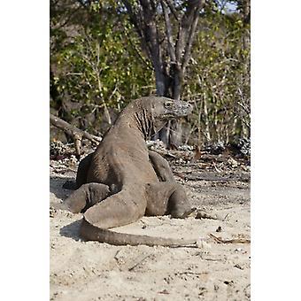 WAT-14738 Komodovaraan - op strand - achteraanzicht. Grote ingelijste foto. WAT-14738 <br>Komodovaraan -.