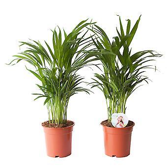 Gyllene cane palm ↕ 40 till 65 cm finns med planter | Areca dypsis lutescens