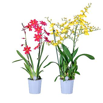 MoreLIPS® - Orchid-Set - 1X Oncidium 'Munsterland' + 1X Cambria 'Nelly Isler' - 2 haaraa - viljelyruukussa - korkeus 50-60 cm