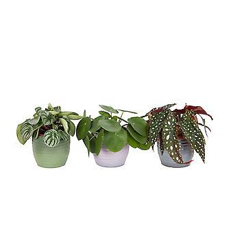 Plantas internas – 3 × Planta de Ufo, Polka dot Begonia, Melancia Peperomia – Altura: 20 cm