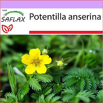 Saflax - 20 semi - Silvered - La potentille ansérine - Cinquefoglia piè d'oca - Potentilla - Gànsefingerut