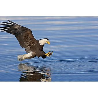 Bald Eagle Prepares To Grab Fish Inside Passage Se Ak Summer PosterPrint