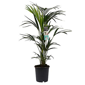 Kentia ↕ 90 a 110 cm disponibile con fioriera | Howea forsteriana Kentia