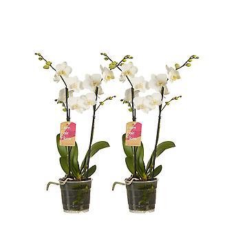 Orkideer fra Botanicly – 2 × Butterfly orkidé – Højde: 50 cm, 1 stængel – Phalaenopsis multiflora