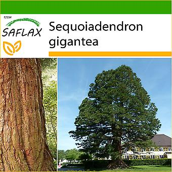 Saflax - 50 frø - med jord - California giganten Redwood - Séquoia géant - Sequoia gigante - Arbol mamut - Berg - Mammutbaum