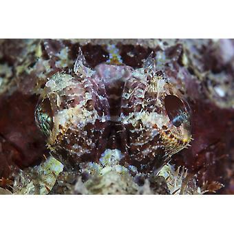 Скорпион лежит на риф в Индонезии Скорпион являются визуальные засады хищников Плакат Печать