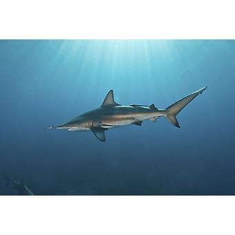 Oceanic blacktip shark UI jäseneltä remora perässään vastaan auringonsäteet Aliwal Shoal Umkomaas KwaZulu-Natal Etelä-Afrikassa Juliste Tulosta