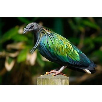 ミノバト鳥デビッド · スレーターによってインドネシア ポスター印刷