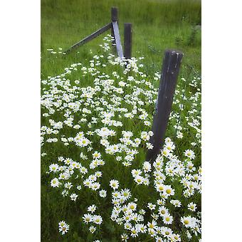 Ox-Eyed Daisies And Fenceline Alberta PosterPrint