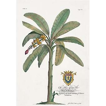 Banana Tree Poster Print by  Georg Ehret