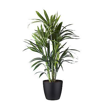 Zimmerpflanze – Kentiapalme in schwarzem Übertopf als Set – Höhe: 100 cm