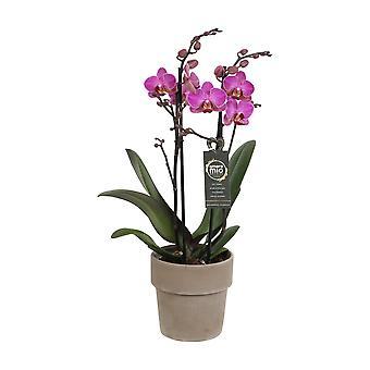 BOTANICLY Phalaenopsis Perceval - Schmetterlingsorchidee