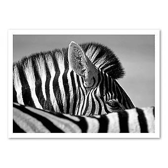 Art-Poster - Curiosa zebra - Marc Pelissier 50 x 70 cm