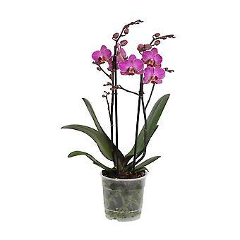 Orquídea – Orquídea borboleta – Altura: 45 cm, 2 hastes, flores rosas