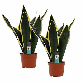 Plantes d'intérieur de Botanicly – 2 × Langue de belle-mère – Hauteur: 50 cm – Sansevieria Fire