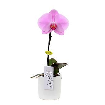 Orchidée – Orchidée papillon en pot de fleur blanc comme un ensemble – Hauteur: 40 cm, 1 pousse