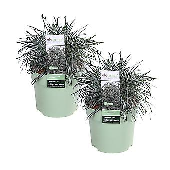Elegrass - Ornamental grass - Frosty Sedge - Ficinia 'Ice Crystal'- set of 2 pieces