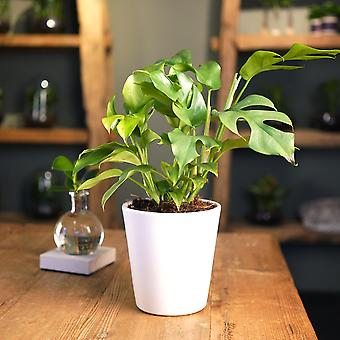 FAIR FLORA® Indoor Plant – Window Leaf Plantin different heights, optionally with decorative pot
