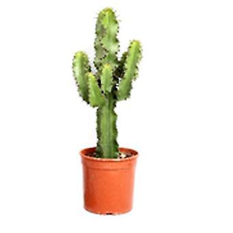 Euphorbia cactus - Height 70 - Diameter pot 25