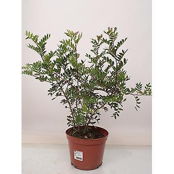 Træ fra botanisk – pistacietræ – Højde: 40 cm – Pistacia