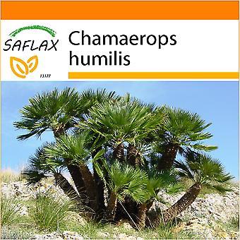 Saflax - Garten in der Tasche - 10 Samen - Nana Zwerg Fächerpalme - Palmier Nain - Palma - Palma Enana - Zwergpalme