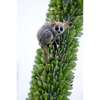 Close-up of a Grey Mouse lemur (Microcebus murinus) on a tree Berenty Madagascar Poster Print by Panoramic Images (16 x 24)