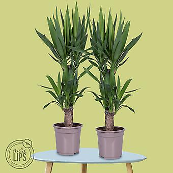 MoreLIPS® - 2 Yucca - in gray grower pot - height 80-90cm - pot size: 17 cm -Yucca elephantipes - Your Green Present