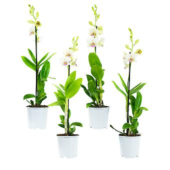Orchids from Botanicly – 4 × Dendrobium Sa-Nook – Height: 55 cm, 1 stem