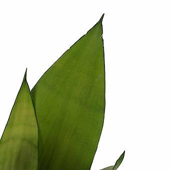 Plantes d'intérieur – 2 × Langue de belle-mère – Hauteur: 50 cm