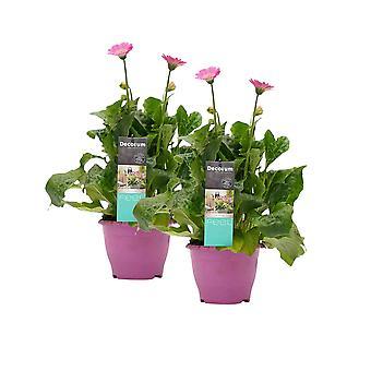 Blomster fra Botanicly – 2 × Gerbera Garvinea – Højde: 45 cm