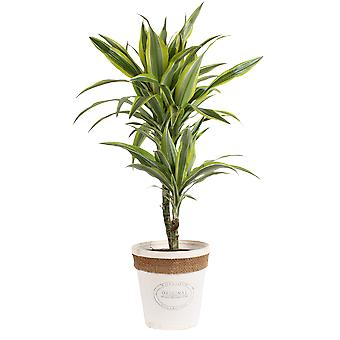 Keuze van Green-Dracaena ' citroen limoen '-Dragon Tree