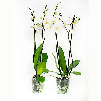 BOTANICLY Phalaenopsis Springtime - Butterfly orchid white